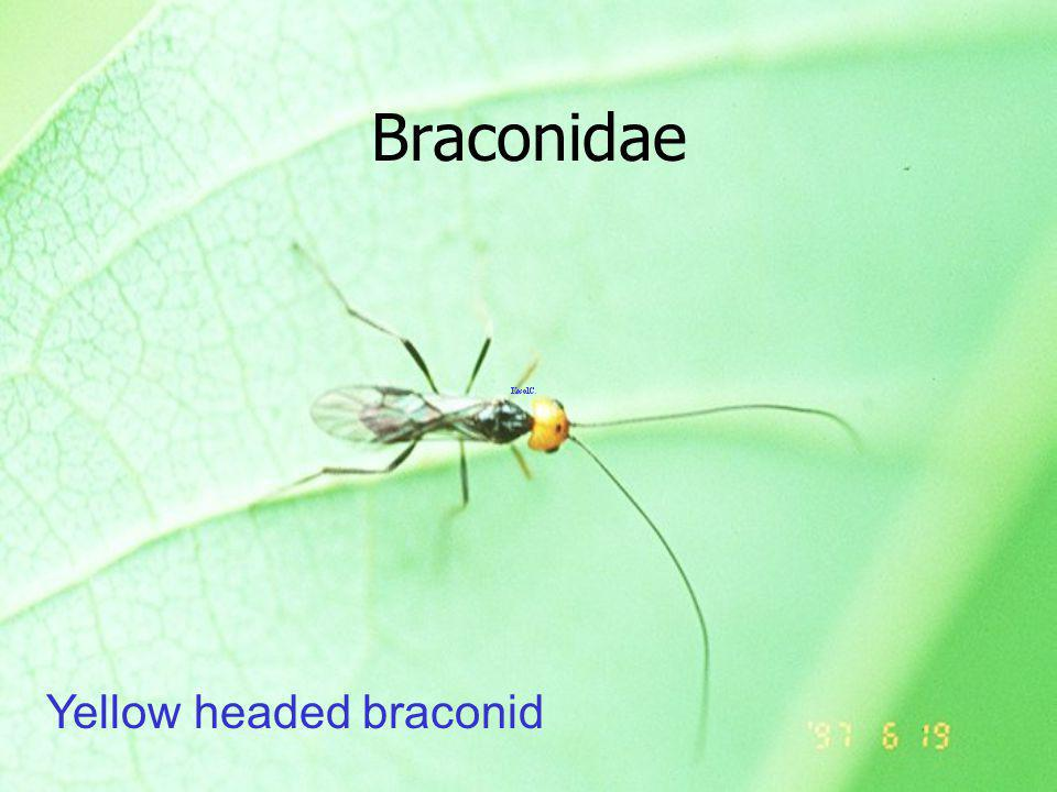 Braconidae Yellow headed braconid