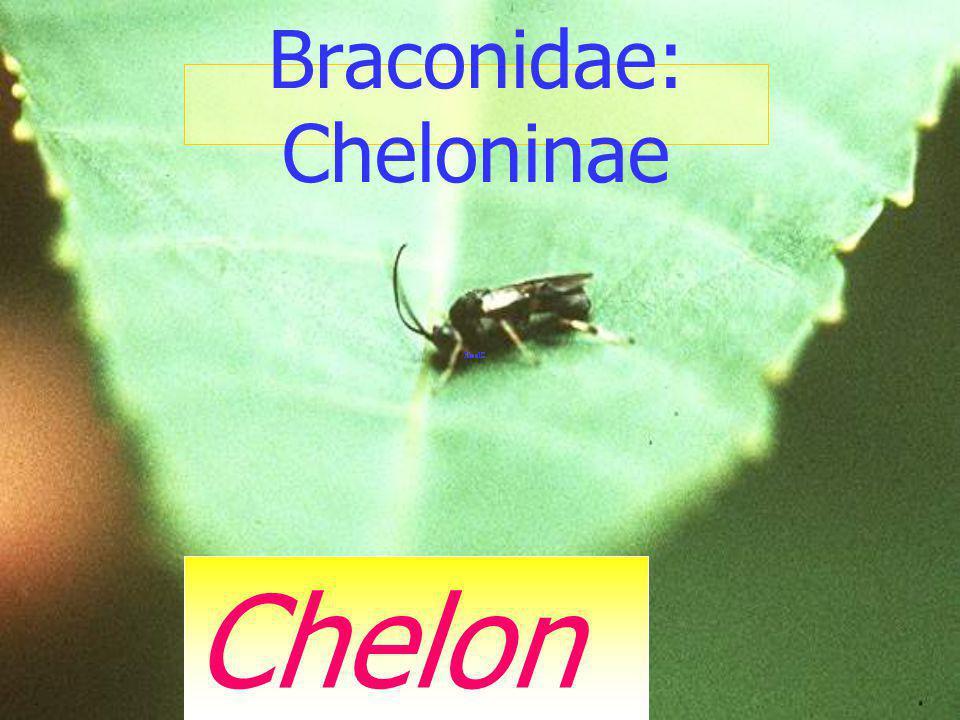 Braconidae: Cheloninae