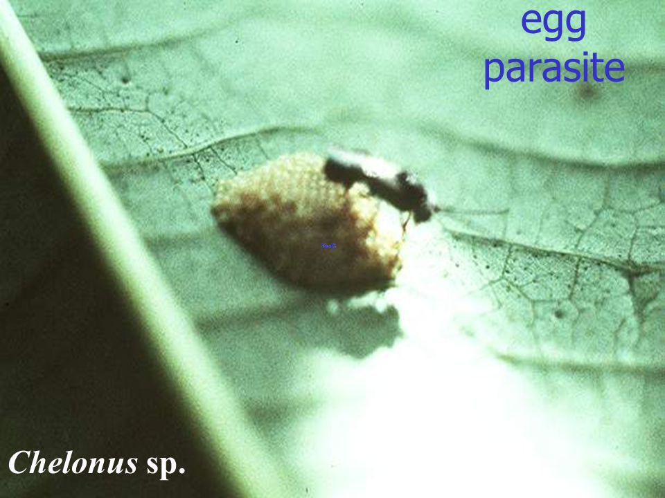 egg parasite Chelonus sp.