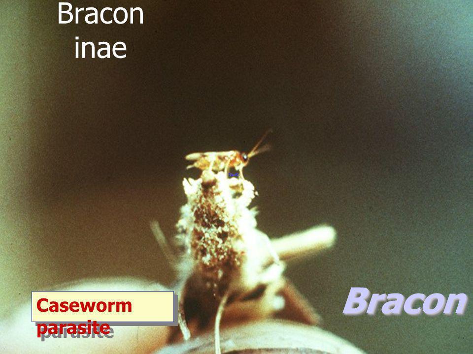 Braconinae Bracon sp. Caseworm parasite