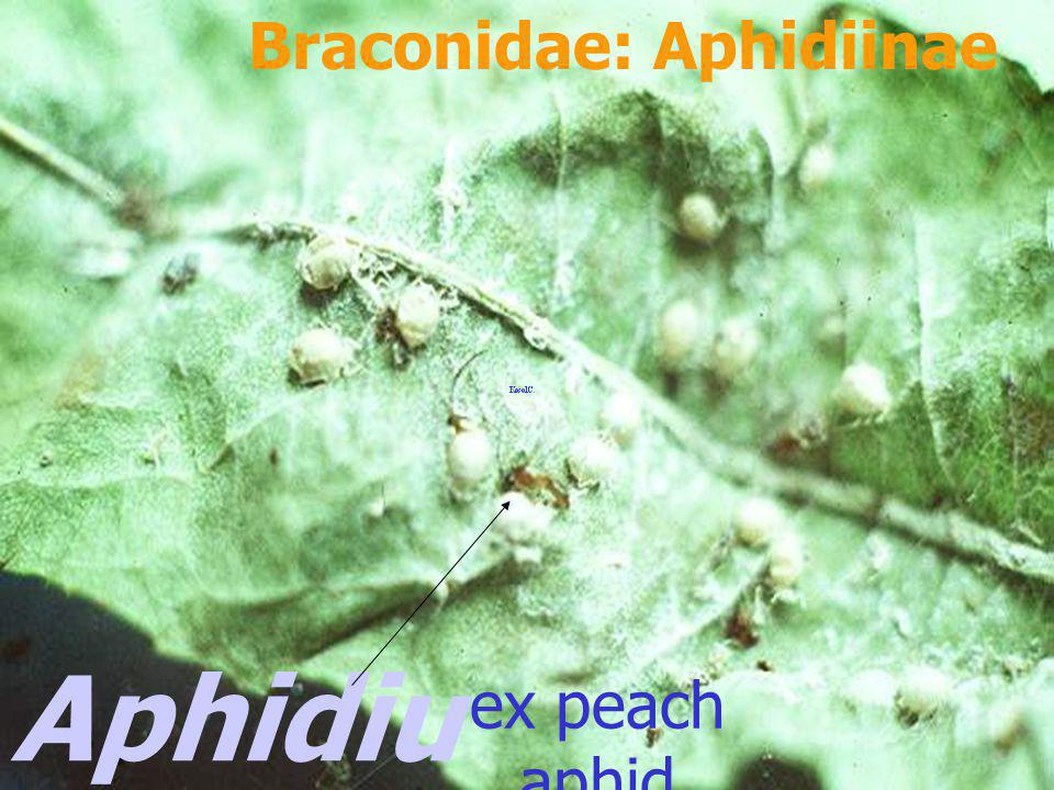 Braconidae: Aphidiinae