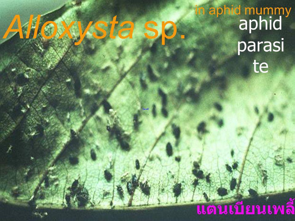 in aphid mummy Alloxysta sp. aphid parasite แตนเบียนเพลี้ยอ่อน