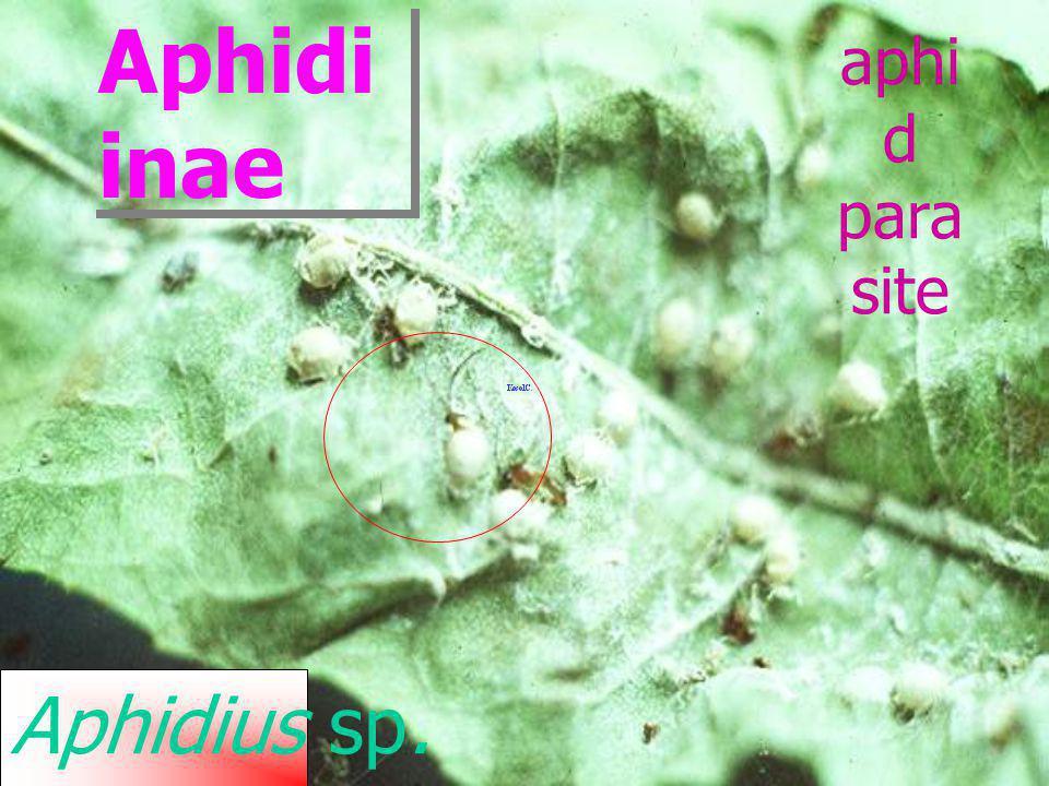 Aphidiinae aphid parasite Aphidius sp.
