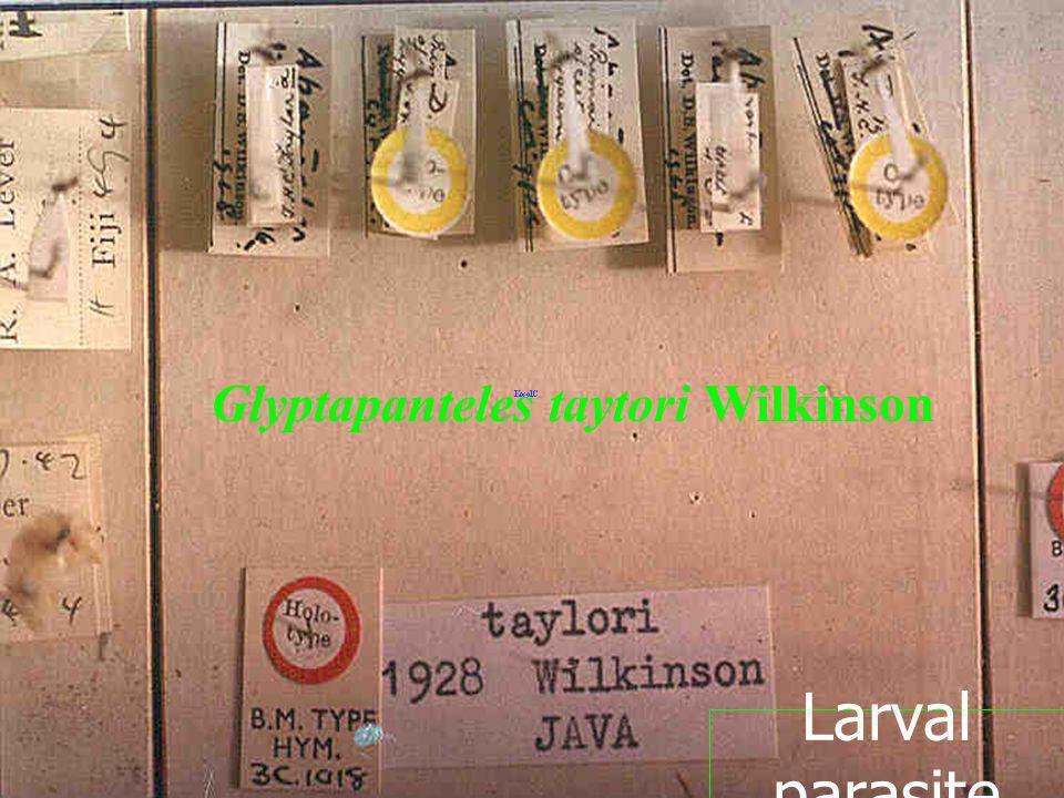 Glyptapanteles taytori Wilkinson