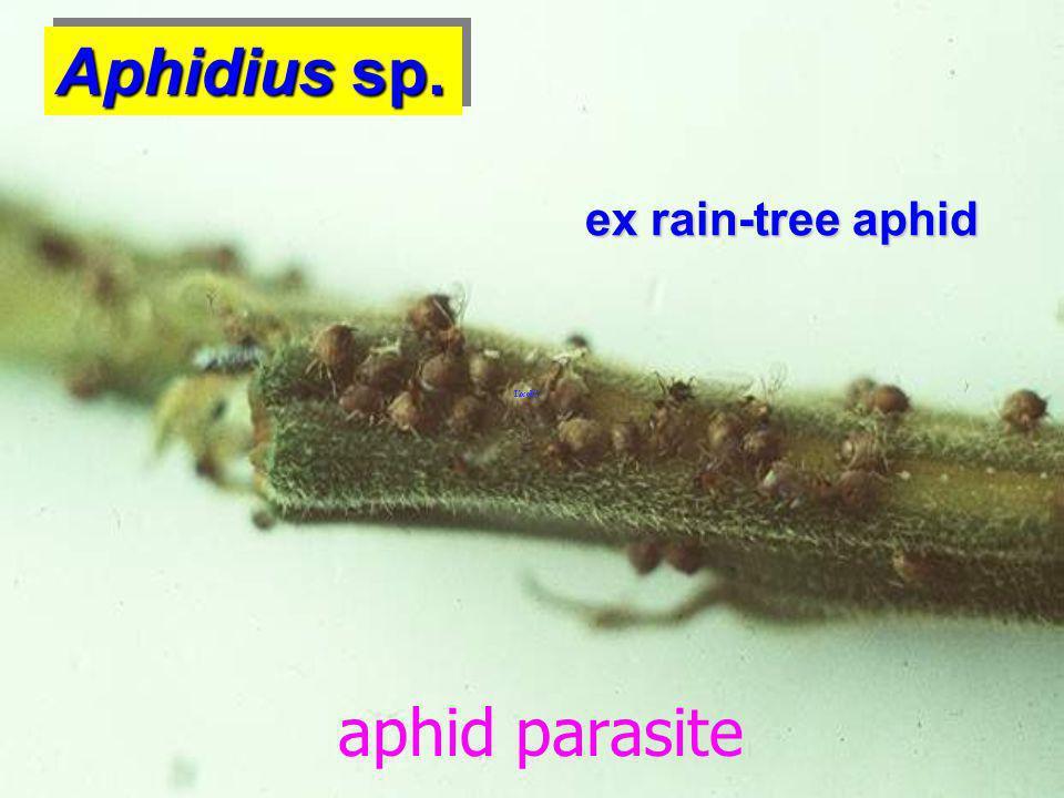 Aphidius sp. ex rain-tree aphid aphid parasite