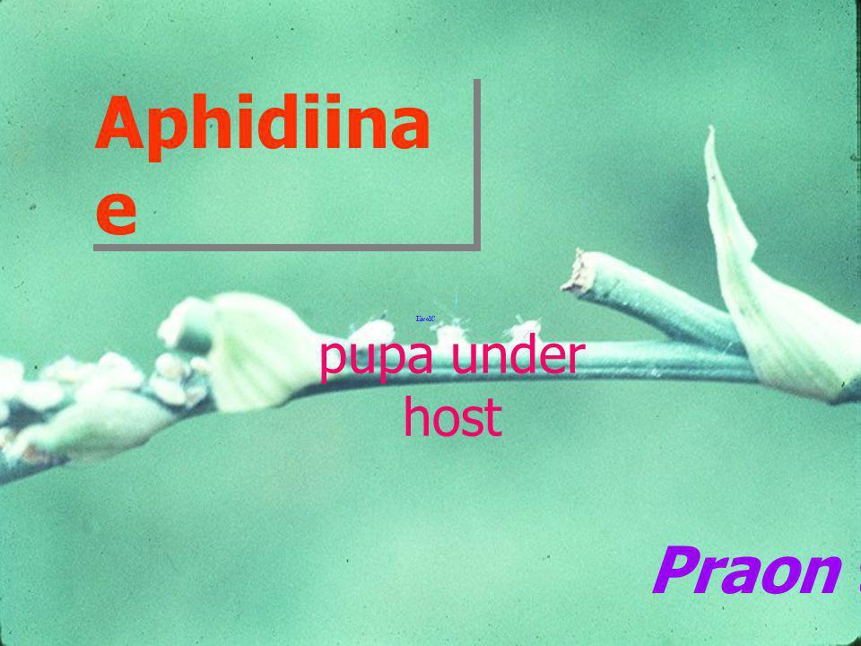 Aphidiinae pupa under host Praon sp.