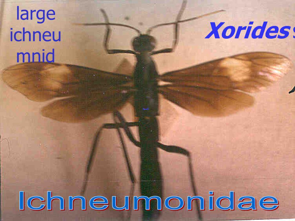 the large ichneumnid Xorides sp. Ichneumonidae