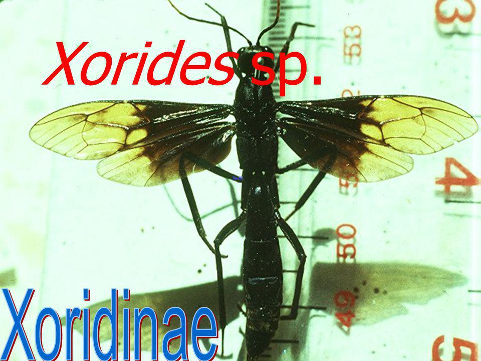 Xorides sp. Xoridinae