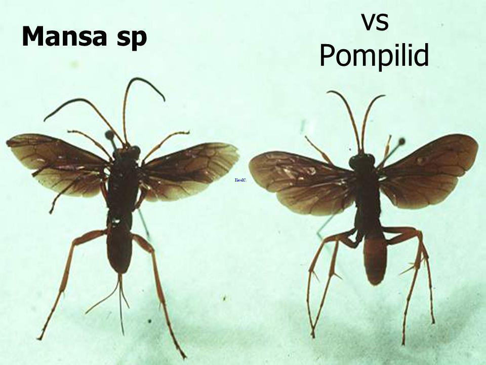Mansa sp vs Pompilid