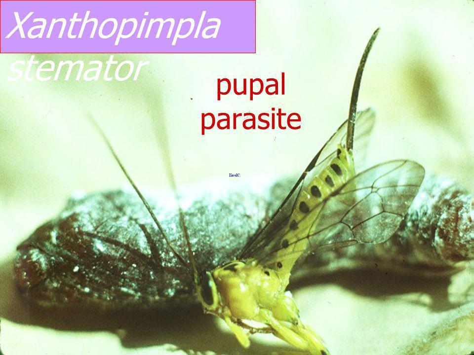 Xanthopimpla stemator