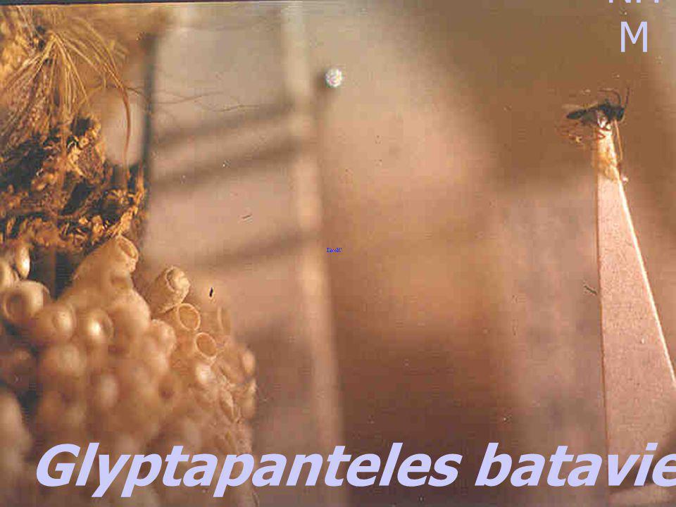 Glyptapanteles bataviensis Rohwer