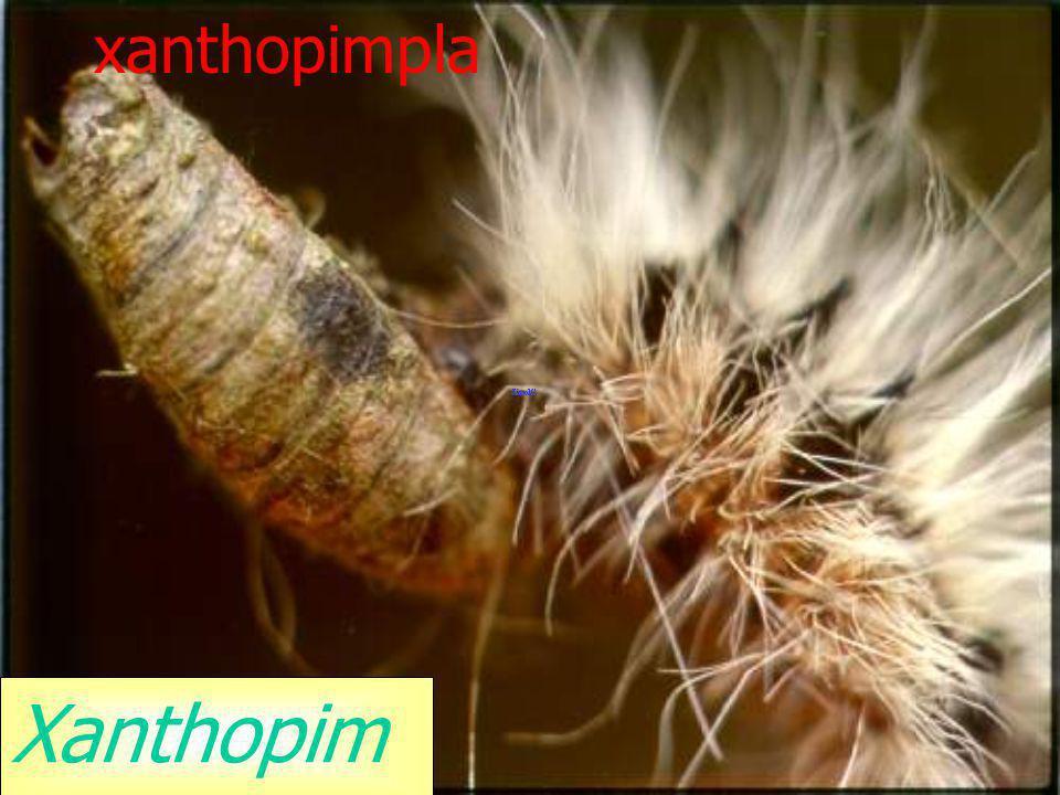 xanthopimpla Xanthopimpla sp.