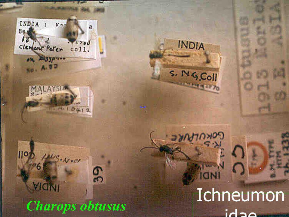 Ichneumonidae Charops obtusus