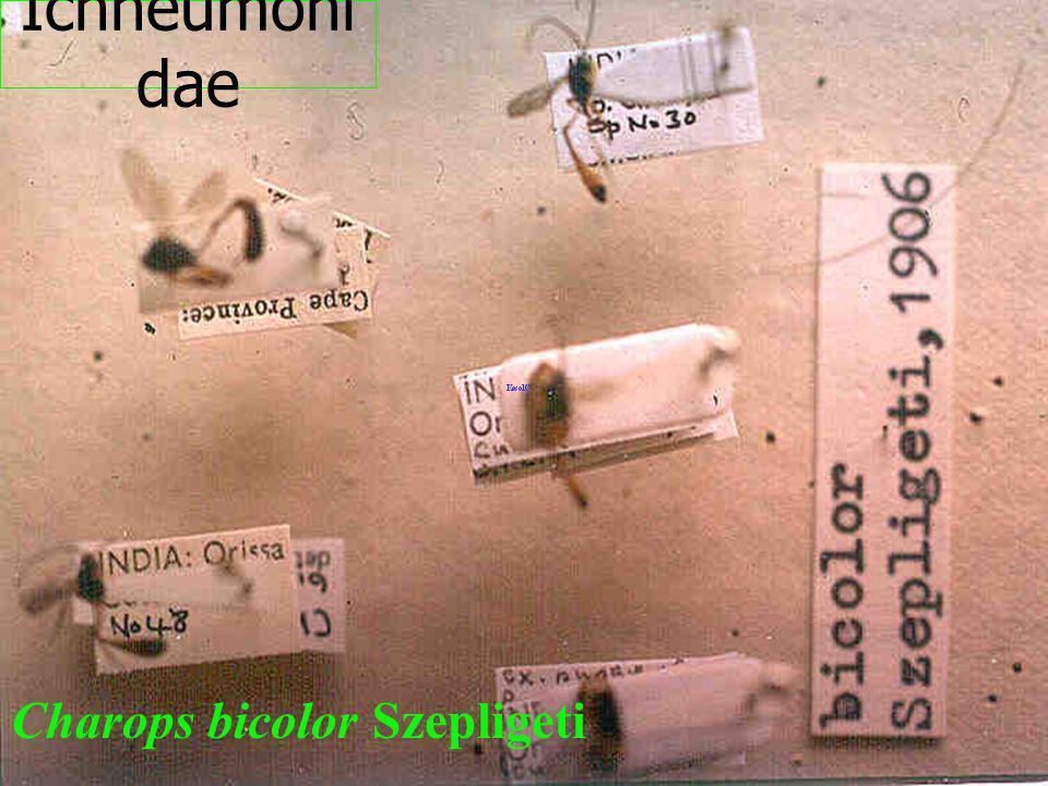 Ichneumonidae Charops bicolor Szepligeti