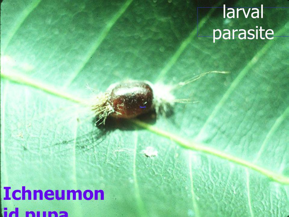 larval parasite Ichneumonid pupa