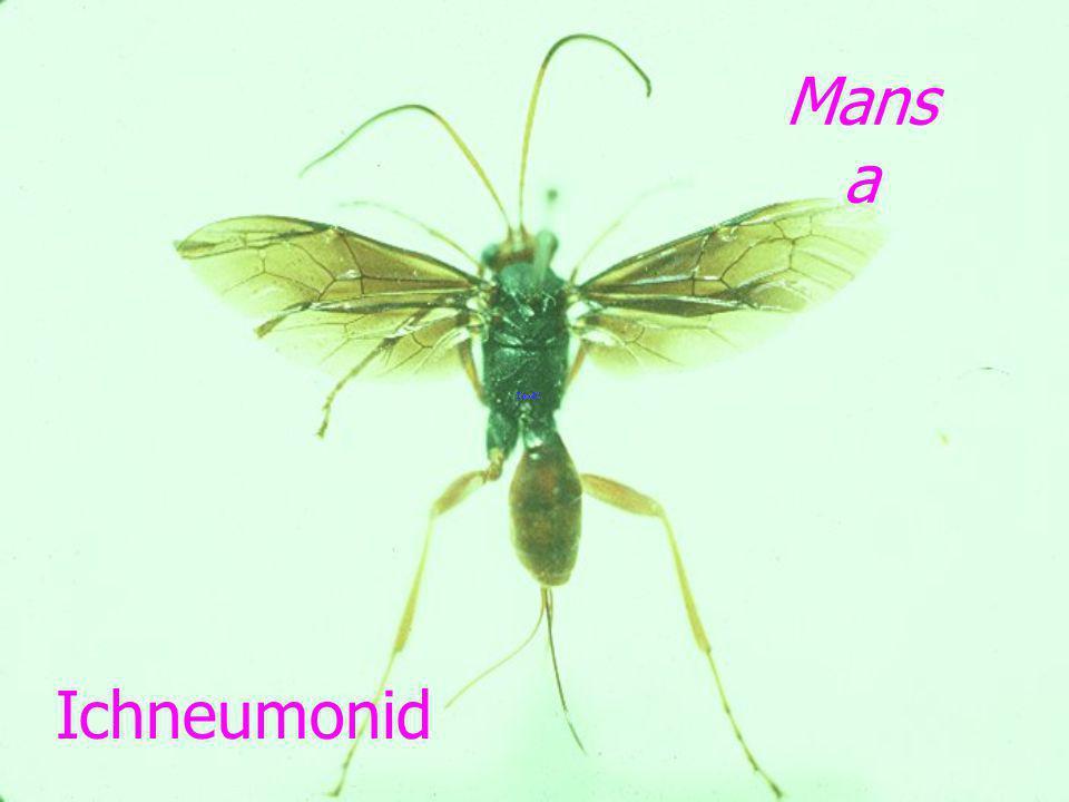 Mansa Ichneumonid