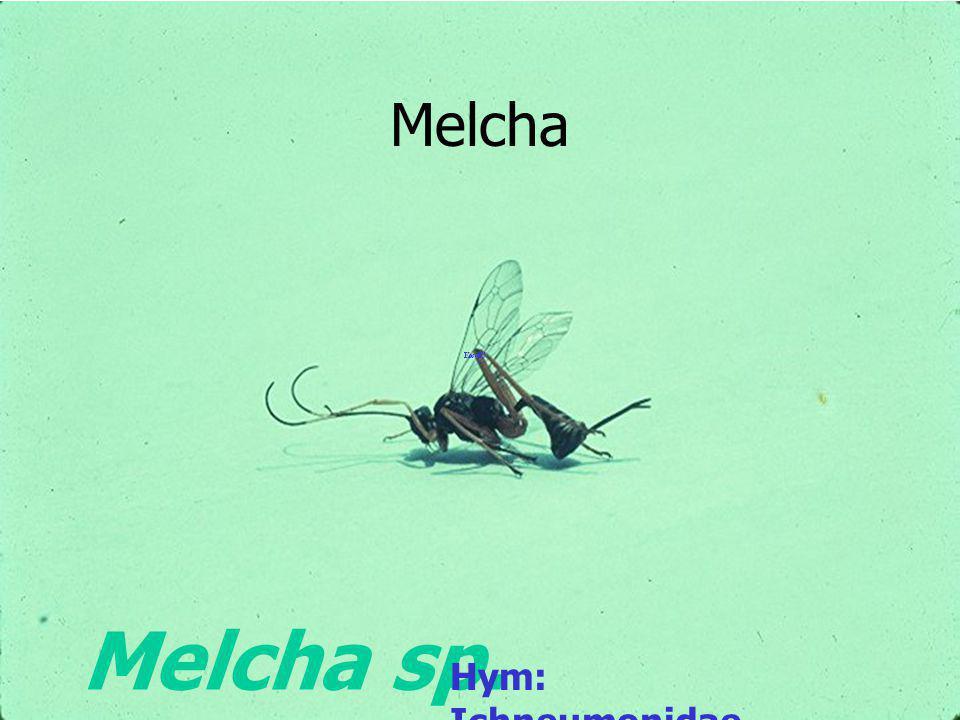 Melcha Melcha sp. Hym: Ichneumonidae