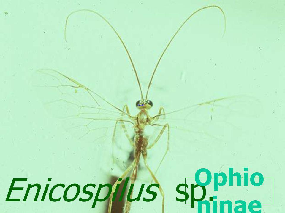 Enicospilus sp. Ophioninae