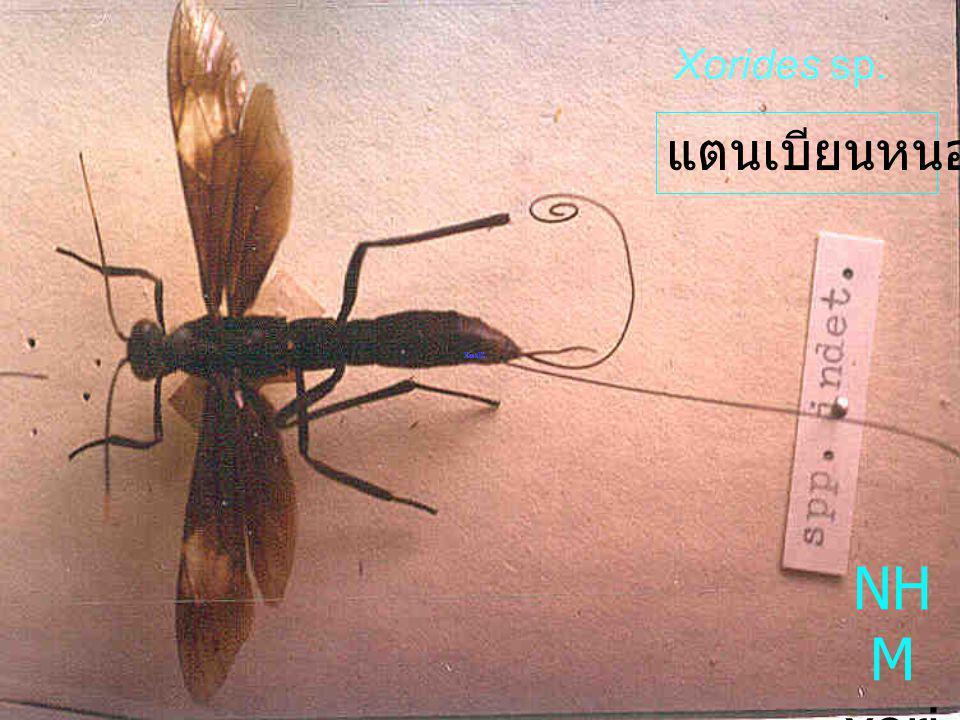 Xorides sp. แตนเบียนหนอน NHM xorides