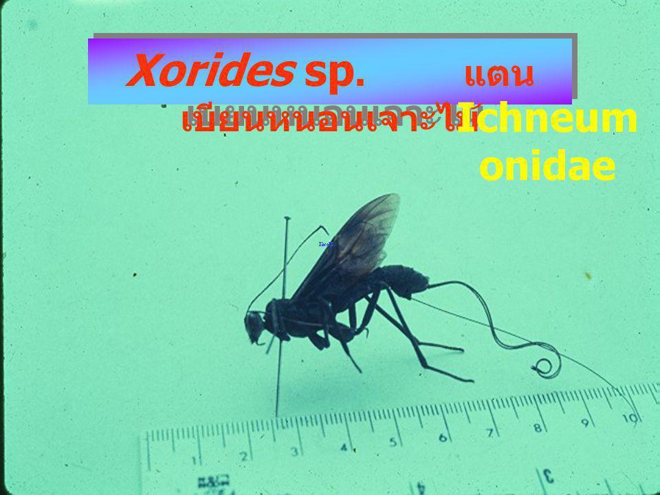 Xorides sp. แตนเบียนหนอนเจาะไม้
