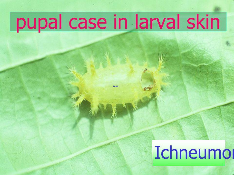 pupal case in larval skin