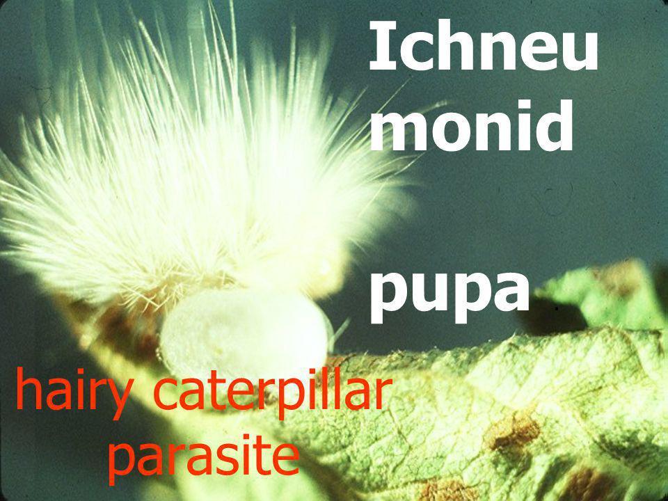 hairy caterpillar parasite
