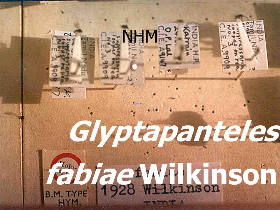 Glyptapanteles fabiae Wilkinson