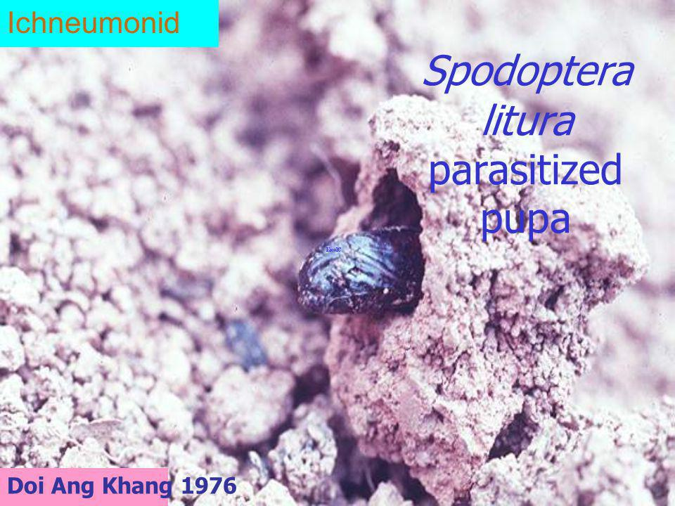 Spodoptera litura parasitized pupa