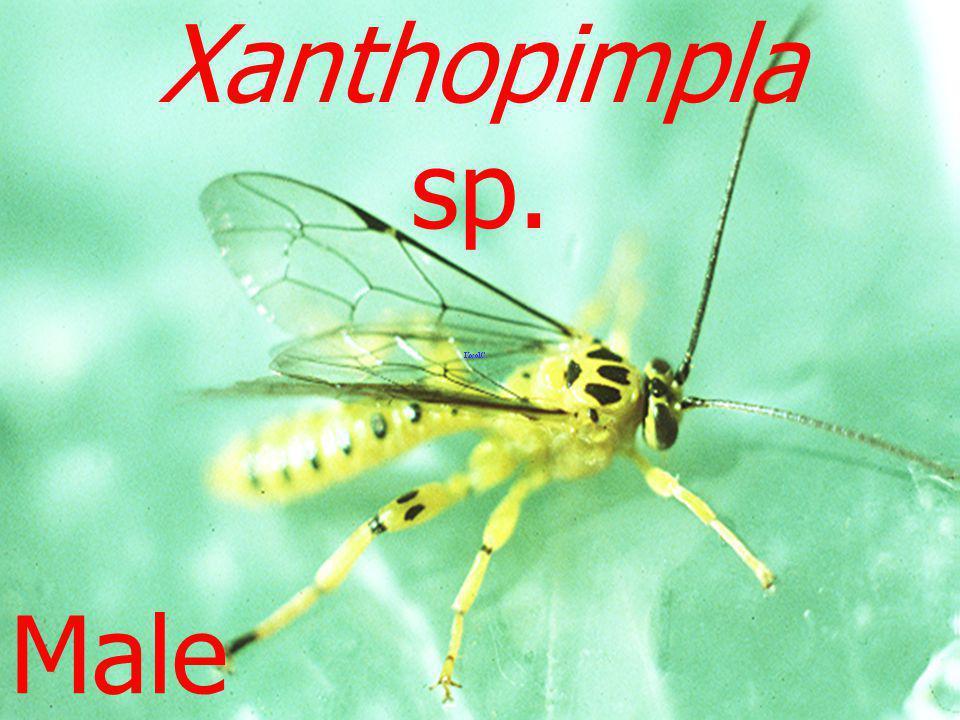Xanthopimpla sp. Male