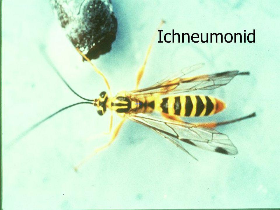 Ichneumonid