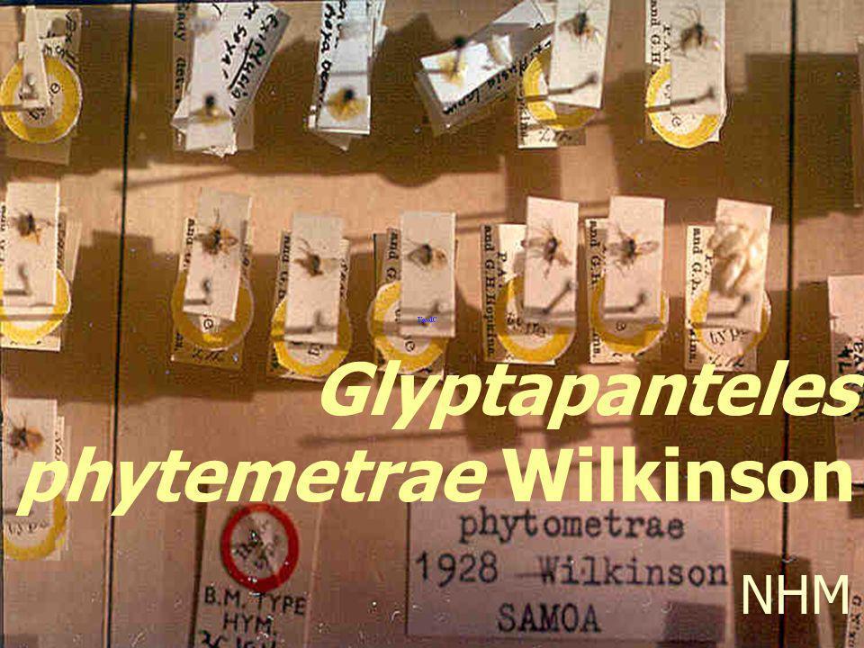 Glyptapanteles phytemetrae Wilkinson
