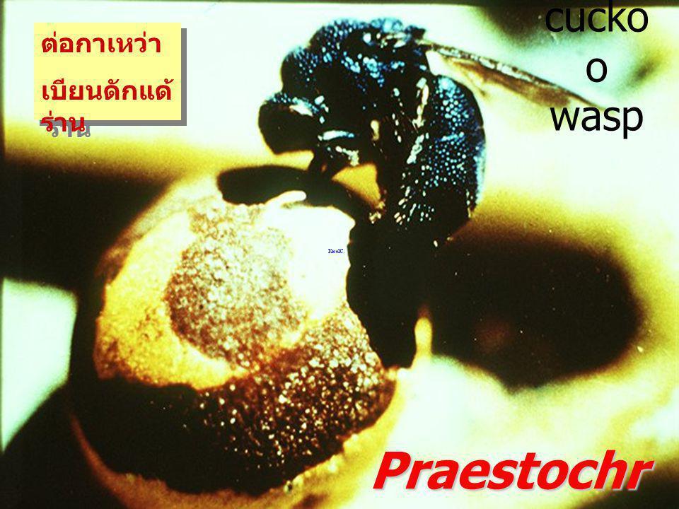 ต่อกาเหว่า เบียนดักแด้ร่าน cuckoo wasp Praestochrysius sp.