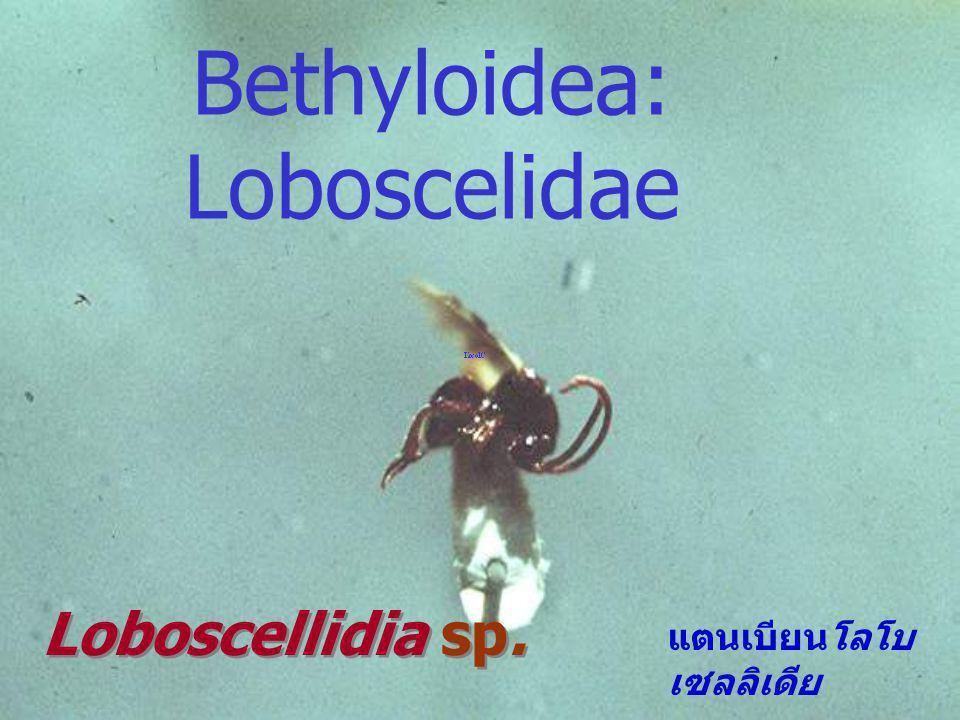 Bethyloidea: Loboscelidae