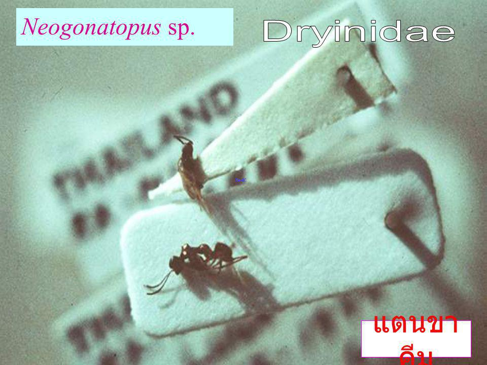 Neogonatopus sp. Dryinidae แตนขาคีม
