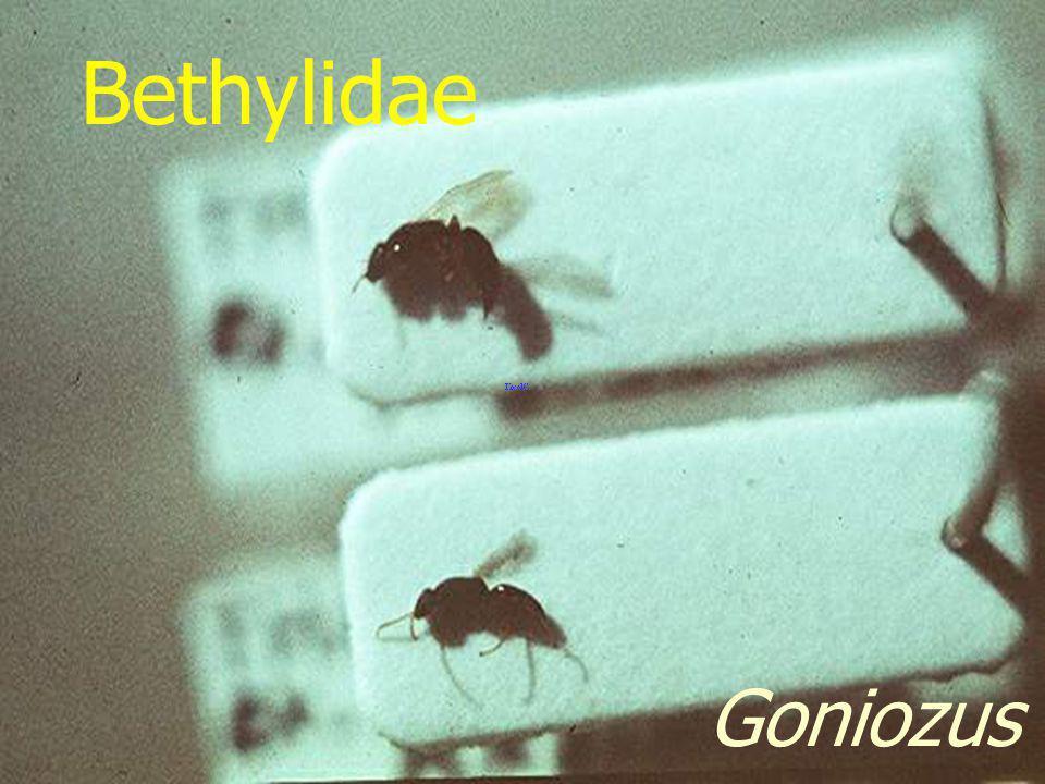 Bethylidae Goniozus sp.