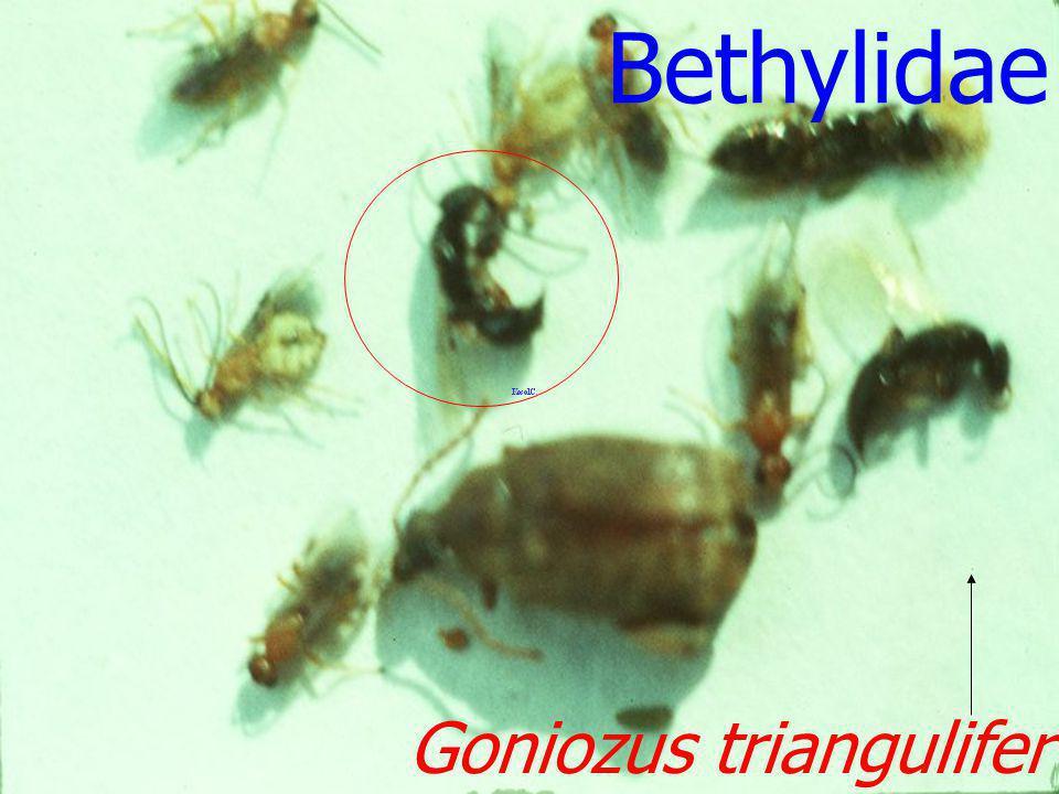 Bethylidae Goniozus triangulifer