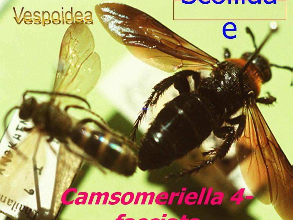 Camsomeriella 4-fasciata