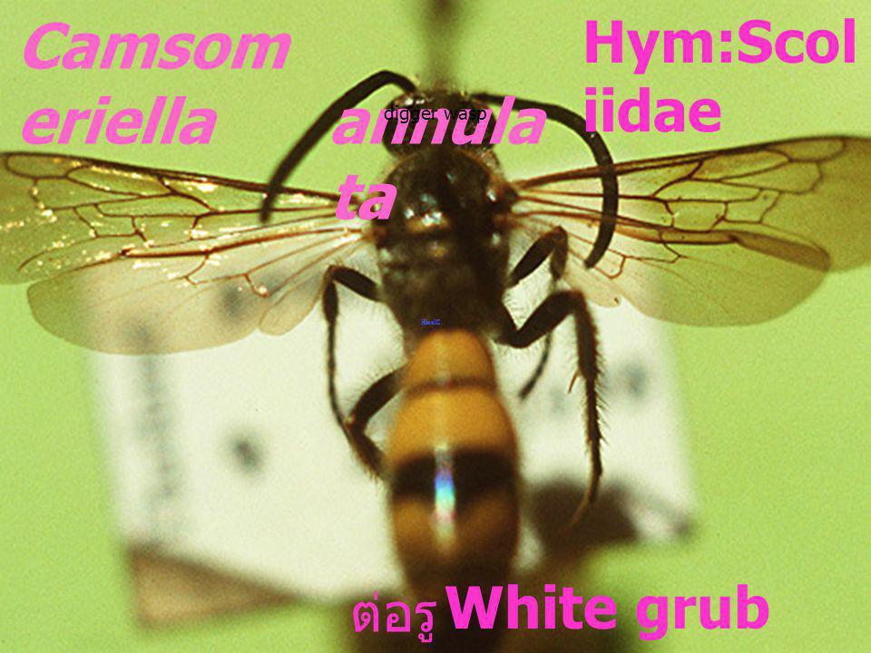 Camsomeriella annulata Hym:Scoliidae White grub parasite ต่อรู