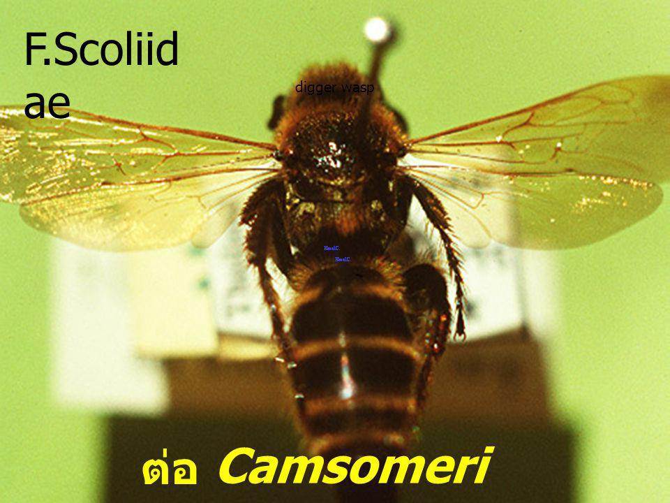 F.Scoliidae digger wasp Camsomeriella sp. ต่อรู