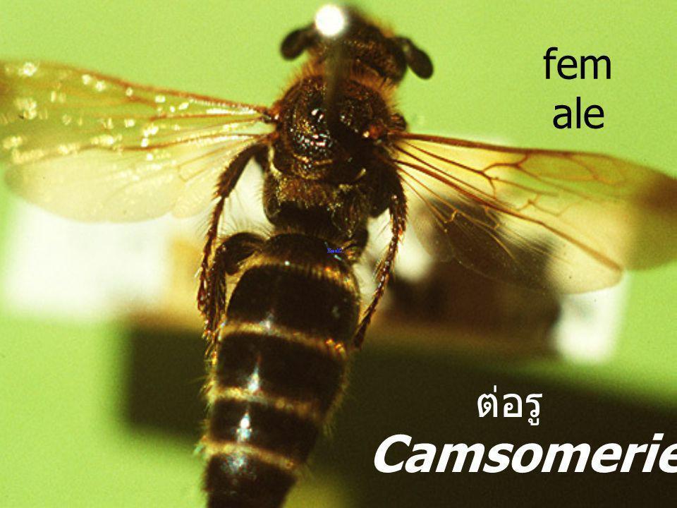 female ต่อรู Camsomeriella sp.