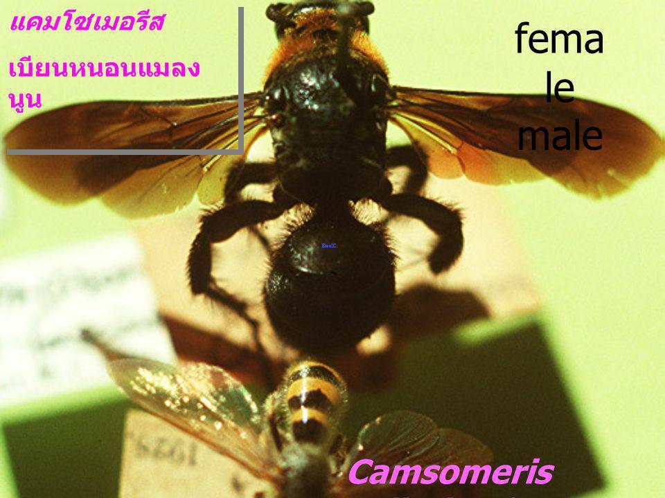 female male Camsomeris collaris 4-fasciata แคมโซเมอรีส