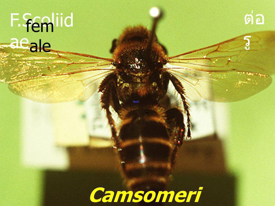 ต่อรู F.Scoliidae female Camsomeriella sp.