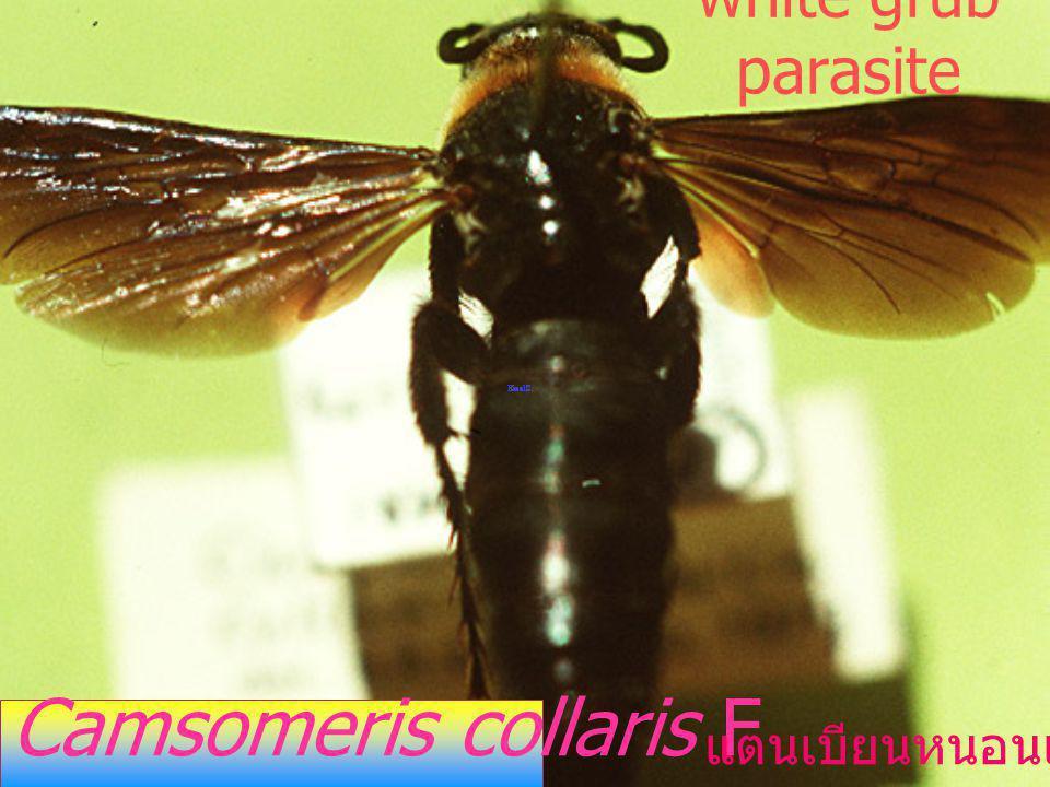 white grub parasite Camsomeris collaris F แตนเบียนหนอนแมลงนูน