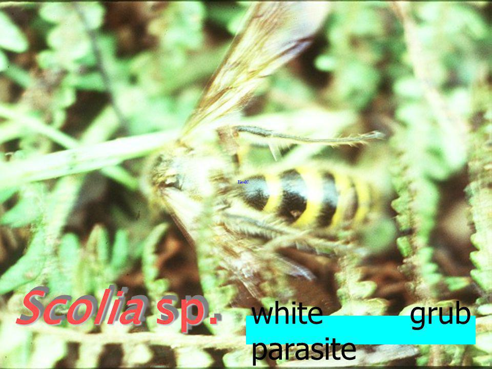 Scolia sp. white grub parasite