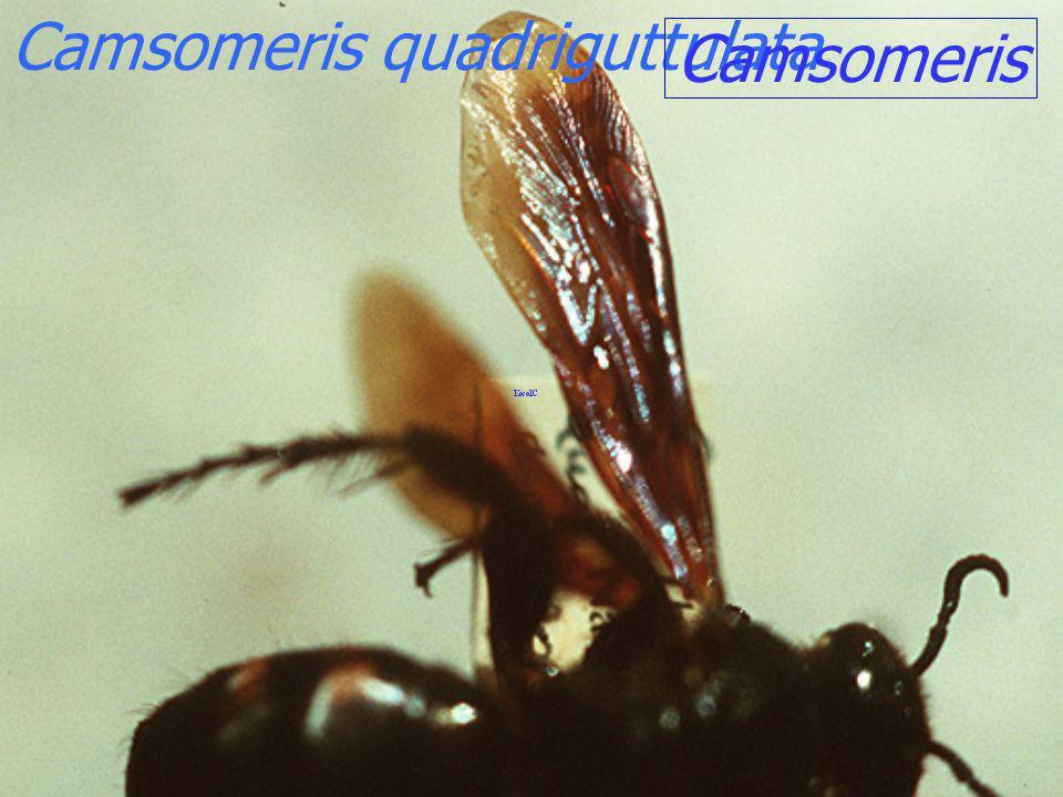 Camsomeris quadriguttulata
