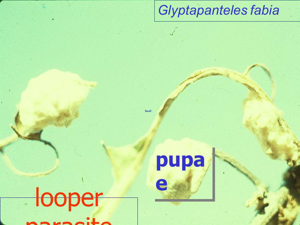 Glyptapanteles fabia pupae looper parasite