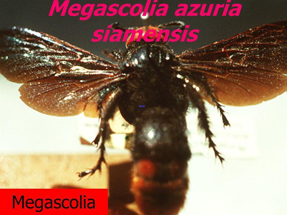 Megascolia azuria siamensis