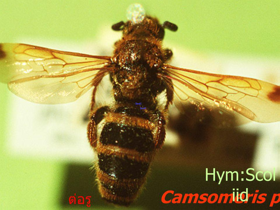 Hym:Scoliid Camsomeris phalerata ต่อรู