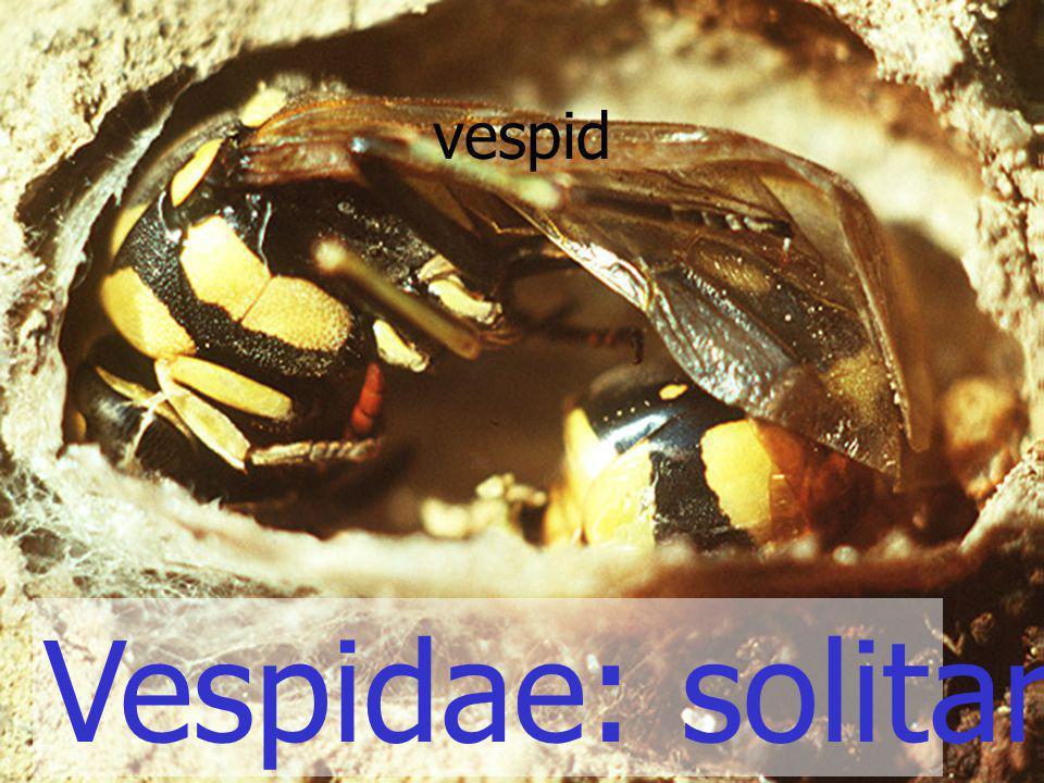 Vespidae: solitary wasp