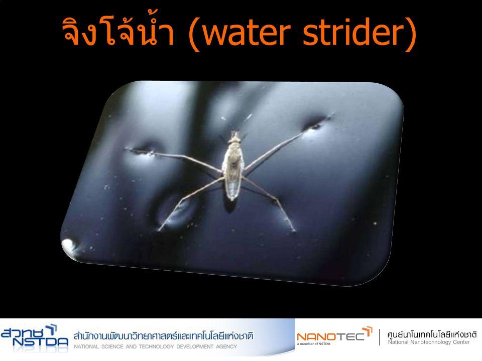จิงโจ้น้ำ (water strider)